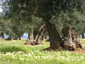 ulivi monumentali 2 (foto Gianni Lannes)