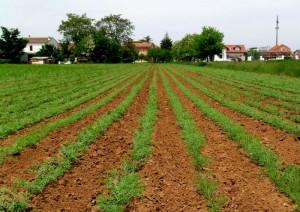 ceci-coltivazione-big